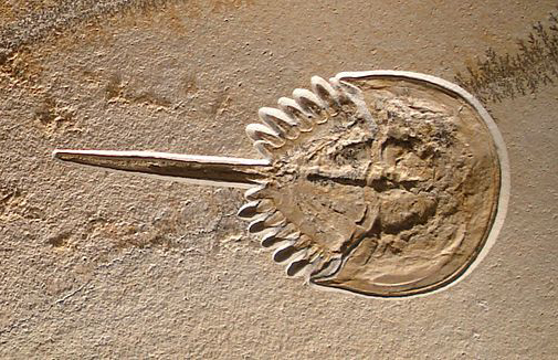 Fossil_horseshoe_crab_dead_in_its_tracks